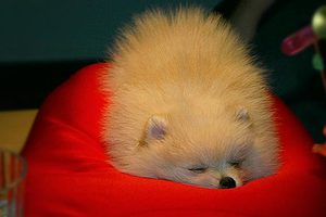 sleepingpom.jpg