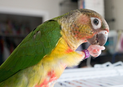 Grab & Eat @ Lucky (Green Cheek Conure)